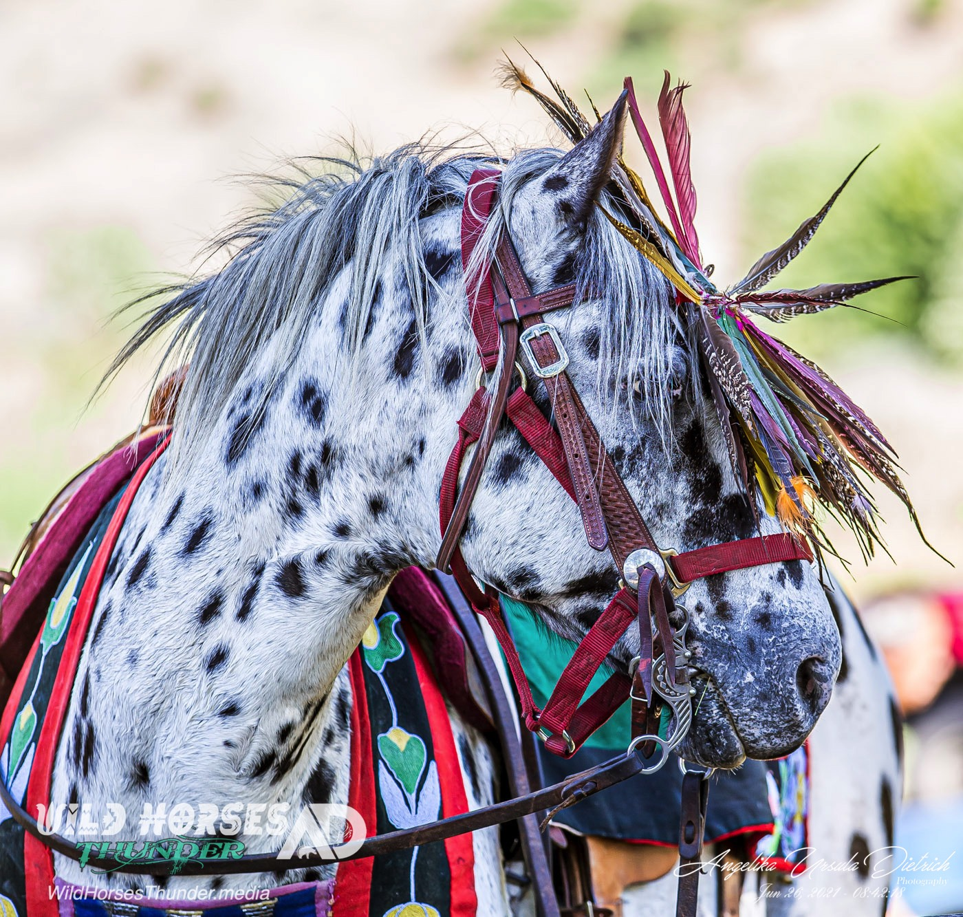 In 1994, the Nez Perce tribe in Idaho started a horse breeding program with the idea of crossbreeding Appaloosa horses with a Central Asian breed called Akhal-Teke to produce a new breed: The Nez Perce Horse.